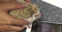 How to Unlock Your iPhone Using a Hedgehog